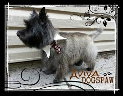 cairn hair cuts dog grooming photos coquitlam aviva dogspaw dog grooming coquitlam