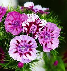 sweet william flowers just williams with their rich clove like fragrance and range of