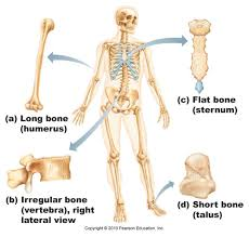Anatomy And Physiology Skeletal System Test Anatomy And Physiology Skeletal System Homework Assignments