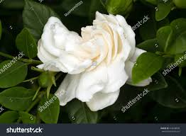High Camp Gardenias by 100 Gardenias In Love With Gardenias U2013 Joanne Jamis