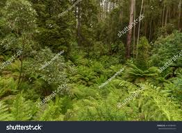 native plants south east queensland dicksonia antarctica soft tree fern man stock photo 414098458