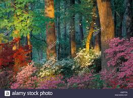Usa georgia callaway gardens azalea forest stock photo royalty