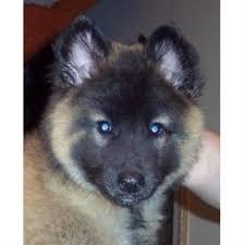 belgian sheepdog breeders new york m a j i c belgian tervuren tervuren breeder in fairbury nebraska