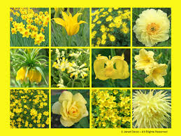 yellow flowers yellow flowers thepaintboxgarden janet davis explores colour