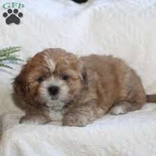 shi poo shih poo puppies for sale shih poo breed info greenfield puppies