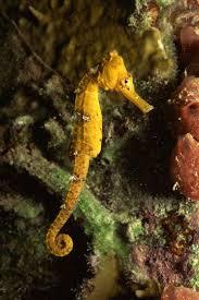types of seahorses
