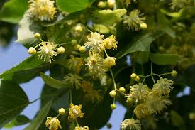 linden flower perfume what s that smell linden blossom