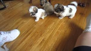 bichon frise breeders texas the new littles bichon poodle shih tzu puppies 08 30 13 youtube