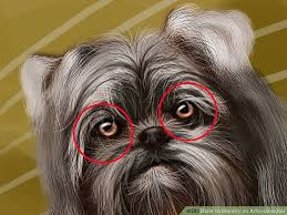 affenpinscher long hair how to identify an affenpinscher 13 steps with pictures