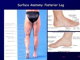Foot Surface Anatomy Ling Shucai Regional Anatomy Of Lower Limb Posterior Region Of