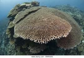 table coral large underwater marine stock photos u0026 table coral