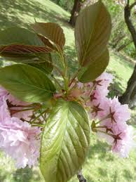 Flowering Cherry Shrub - shrubs the traveling naturalist