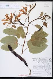 Fragrant Plants Florida - bauhinia purpurea species page isb atlas of florida plants