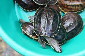Texas Map Turtle Things Unbelievably Real About Terrapin Turtles