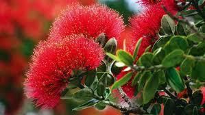 pohutukawa and rata how to grow new zealand u0027s christmas trees
