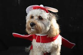 41 hilarious pictures of howl o ween dogs today com