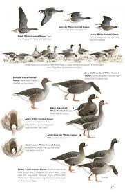 bird identification chart birds of prey