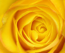 yellow color macro yellow rose yellow roses the color of sunshine patrick