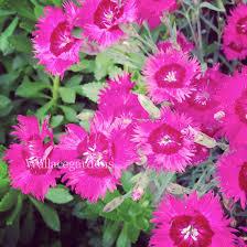 organic edible flowers organic edible flowers hometalk