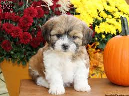 puppies for sale pa shichon teddy puppies for sale in pa