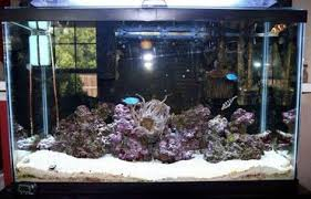 How To Clean Fish Tank Decorations Guide For Keeping Anemones In A Reef Tank Ratemyfishtank Com