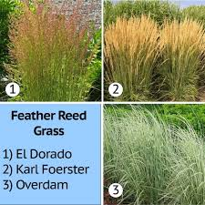 ornamental grasses easy to care for to resist nature s