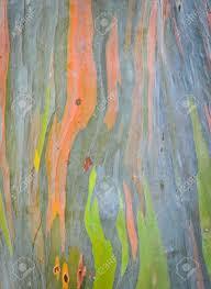 background of rainbow eucalyptus tree bark stock photo picture