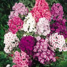 phlox flower phlox fragrant collection flowering period july august