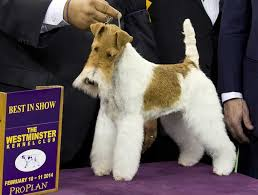 australian shepherd westminster 2016 it u0027s westminster dog show time do you know which dog is which