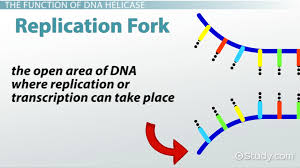 dna helicase definition role u0026 function video u0026 lesson