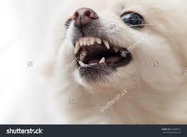 australian shepherd teeth white pomeranian showing teeth stock photo 626369912 shutterstock