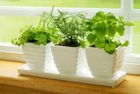 Windowsill Greenhouse Windowsill Herbs U2014 The Gardener U0027s U0027fix U0027 During Cold Winter Months