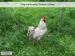 5 tips for keeping chickens at home experimental homesteader