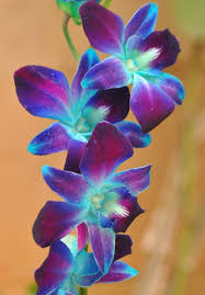 blue and purple orchids 26 best colors images on within blue and purple orchids