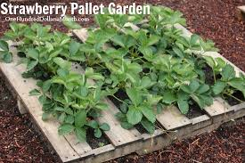 wood pallet garden pictures lettuce strawberries celery and