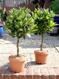 Euonymus Topiary Topiary Trees And Plants Online Top Topiary