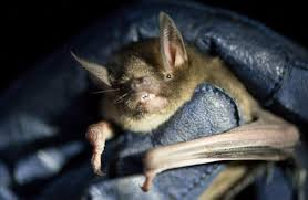 eglinton valley lesser short tailed bat monitoring programme our work