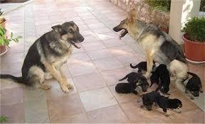 Light Sable German Shepherd German Shepherd Dog Breed Information And Pictures