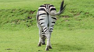 watch a zebra turn its tail into a surprisingly effective fly
