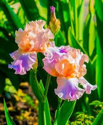 iris flowers iris flowers purple iris in garden blue and purple colored iri