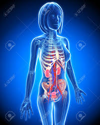 Female Urinary System Anatomy Female Urinary System In Blue X Ray Form In Blue Stock Photo