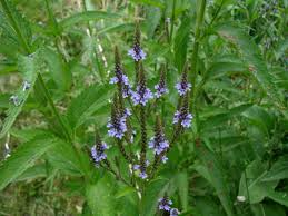 native american healing herbs plants blue vervain buy organic medicinal herb plants