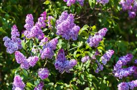 Most Fragrant Plants - top plants for creating a year round fragrant garden here by design