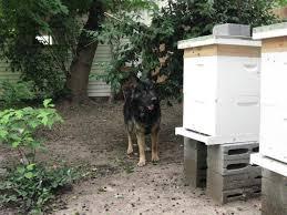 backyard bee keeping at sleepydogtraining nj dog trainer ny dog