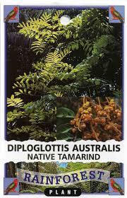edible native australian plants native tamarind diploglottis australis buy native tamarind rainforest