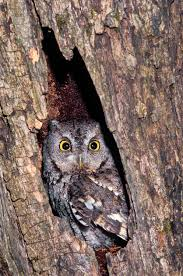 the eastern screech owl missouri department of conservation