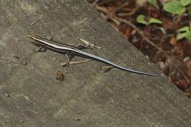 blue tailed skinks in garage pest control chemicals 800 877 7290