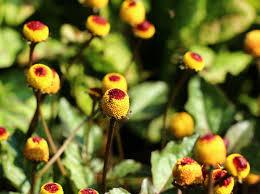 native brazilian plants eyeball plant an unusual but pretty garden plant