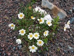 mountain avens dryas octopetala flowers naturegate
