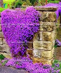 100 rock cress aubrieta cascade purple flower seeds deer